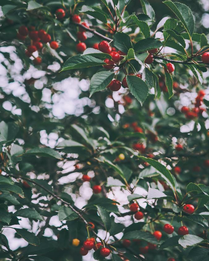 Kirsikkabrownie kirsikka brownie leivonta gluteeniton