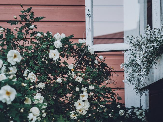 Tertin kartano ruusu